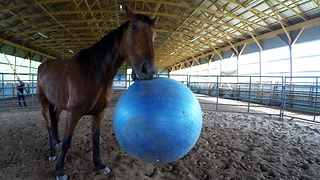Racehorse turned therapy horse plays ball with first responder
