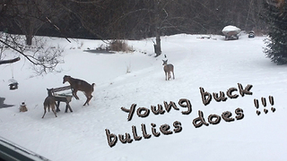 Aggressive young buck bullies two does at feeder - Video