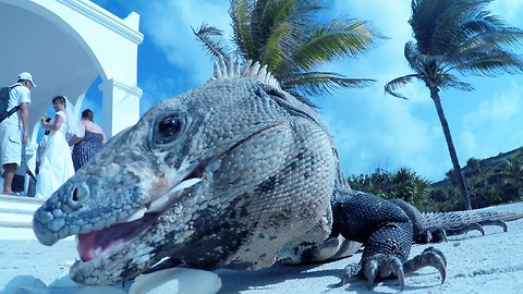 Iguana with attitude crashes wedding