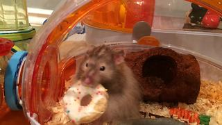 Hamster can't fit birthday cookie through tunnel - Video