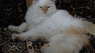 Crazy persian cat eats strawberries  - Video
