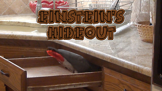 Einstein the Parrot plays hide-and-seek in kitchen drawer