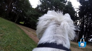 Westie action cam: Dog's eye view of the garden - Video