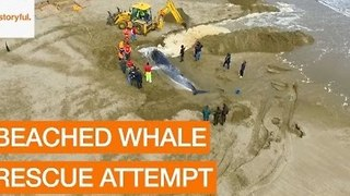 Volunteers Attempt Rescue of Beached Whale on Spanish Beach - Video