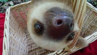 Curious Sloth Cautiously Investigates Camera - Video