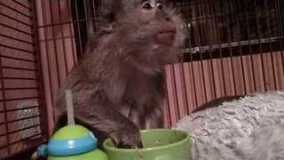 Pet Monkey Loves Eating Healthy Vegetable Soup - Video
