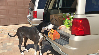Great Dane carefully delivers box of fried chicken