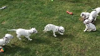 Dalmatian puppy playtime is definitely a cuteness overload