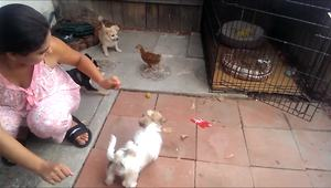 Young chicken adorably takes on 4 puppies - Video