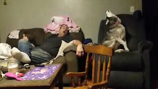 Dad, daughter & husky engage in howling contest