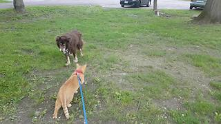 Cat on leash enjoys walk with dogs - Video