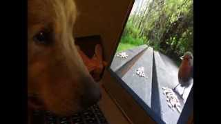 Golden Retriever Shows His Focus by Watching Animals on Laptop Screen - Video