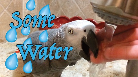 Talkative parrot gently drinks water from owner's fingers