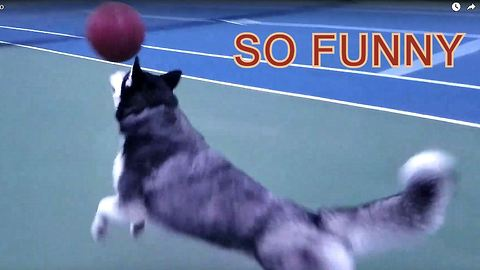 Cute Siberian Husky Max Named the Best Basket Ball Player for Dog