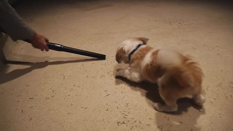 Puppy confronts his mortal enemy: The vacuum cleaner!