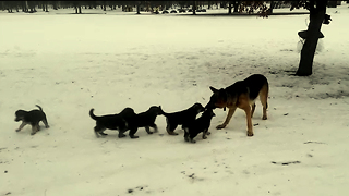Daddy German Shepard Plays With His Kids! SO CUTE!! - Video
