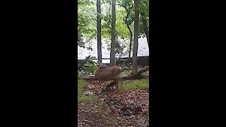 Deer introduces woman to her 2-day-old fawn