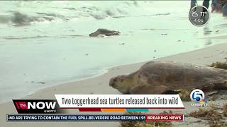 Two loggerhead sea turtles released back into the wild