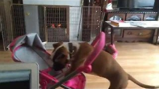 Boxer Puppy Decides to Take Stroller For a Walk - Video