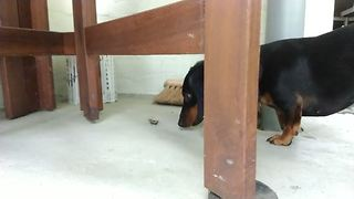 Dachshund freaks out over pesky insect - Video