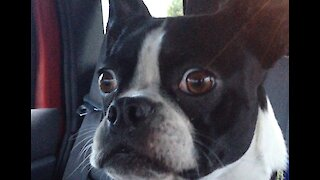 Goofy Boston Terrier Impersonates Goat And Dolphin