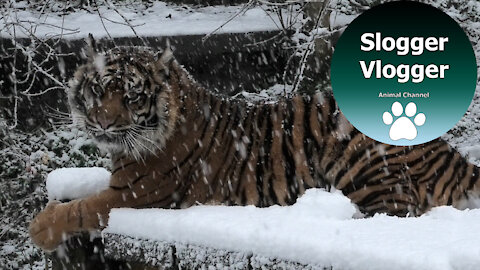 Animals at Dudley Zoo in England enjoy rare UK snowfall
