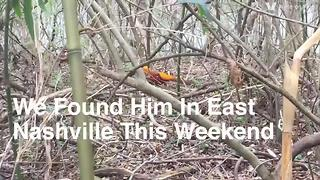 Golden Pheasant Spotted In East Nashville - Video