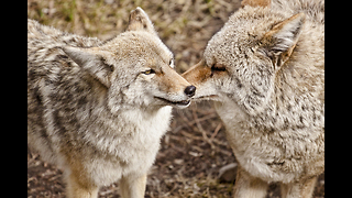 America's Greatest Animals: Coyote - Video