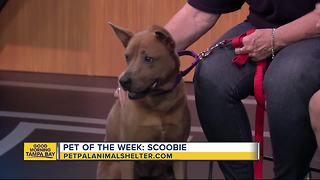 Pet of the week: 8-year-old Scoobie wants a comfy couch for her golden years - Video
