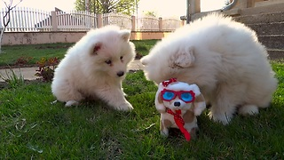 Samoyed Puppies Take on Robot Dog - Video