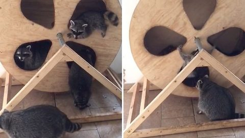 Rocking raccoons: Group of cheeky raccoons mess around on spinning wheel even falling out