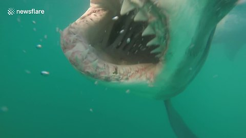 Great White Shark Grins For The Camera Flaunting Its Sharp Teeth