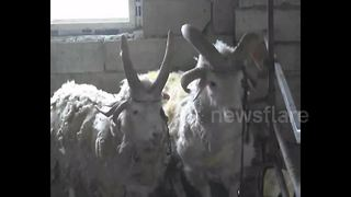 Strange multi-horned sheep spotted in China - Video