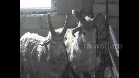 Strange multi-horned sheep spotted in China