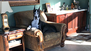 Pretty Great Dane Can't Decide What Chair She Wants  - Video