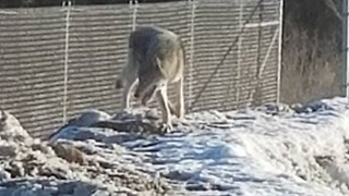 Rare Timber Wolf Caught on Video in Minnesota - Video