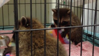 Tiny baby raccoons cuddle their stuffed animals - Video