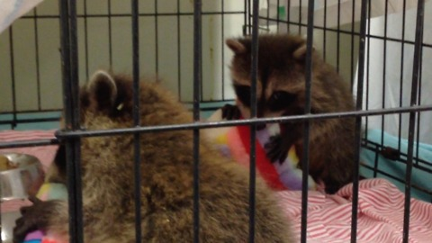 Tiny baby raccoons cuddle their stuffed animals