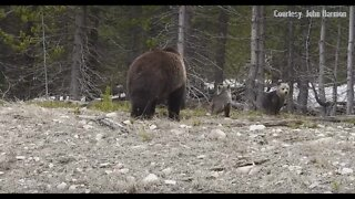 Grizzly sow with cubs John Harmon