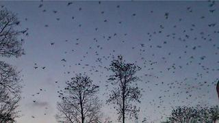 Thousands of crows fly from the trees - Video