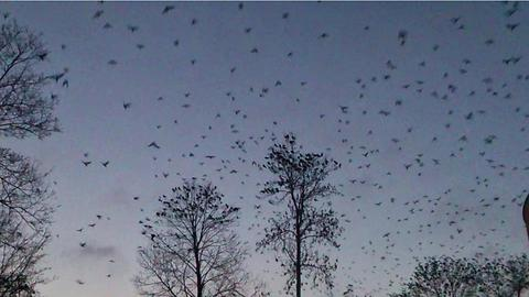 Thousands of crows fly from the trees
