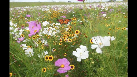 Pollination paradises along our highways save butterflies, money