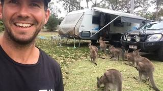 The word is out: Kangaroos LOVE caravans! - Video