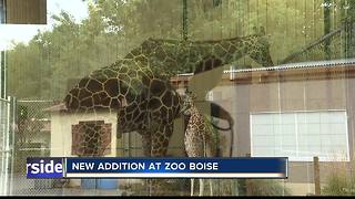 New Giraffe Arrives at Zoo Boise - Video