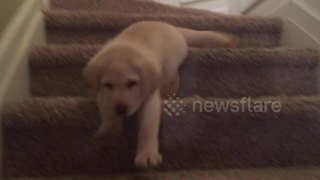 Adorable yellow Lab puppy walks down stairs for first time - Video