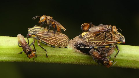 Stingless bees tend to treehoppers for honeydew