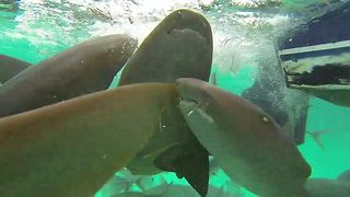 This Diver Gets Caught In The Middle Of Shark Feeding Frenzy - Video