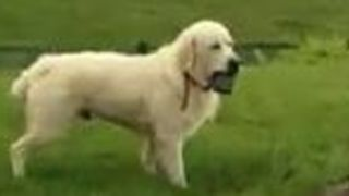 Dog Steals Owner's Phone, Slow Battle of Wits Ensues - Video