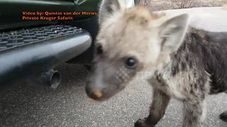 Inquisitive hyena cubs are just adorable - Video
