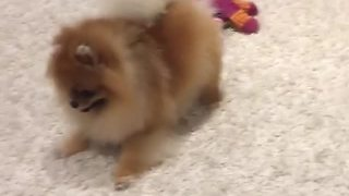 High-energy Pomeranian puppy plays with toys